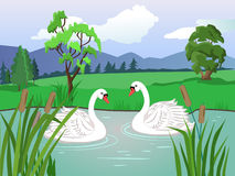 Two white swans. Couple in love. Lake with beautiful water lilies. Stock Photography