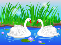 Two white swans. Couple in love. Royalty Free Stock Photography