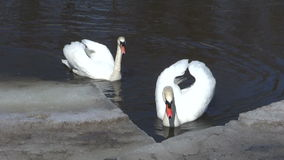 Two white swans (Cygnus olor) on river ice. Two white swans (Cygnus olor) on spring river ice stock video footage