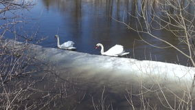 Two white swans (Cygnus olor) on  spring river with ice. Two white swans (Cygnus olor) on early spring river with ice stock video
