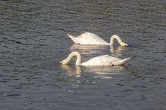 Two white swans diving in water Royalty Free Stock Image