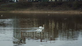 Two white swans and ducks floating in a river the distant plan. Two white swans floating in a river, in spring with wild ducks the distant plan, slow motion stock video