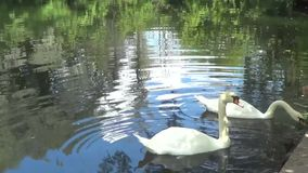 Two white swans stock footage