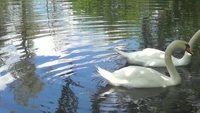 Two white swans. Feeding of two white swans stock video footage