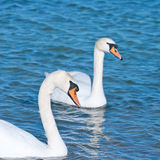 Two white swans is floating Stock Photo