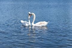 Two white swans floating on the lake in Hyde Park, London. royalty free stock photo