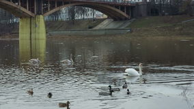Two white swans floating in a river near the bridge. Two white swans and the ducks floating in the river near the bridge stock video