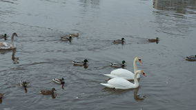 Two white swans floating in a river near the bridge. Two white swans and the ducks floating in the river near the bridge are fed with bread stock video footage