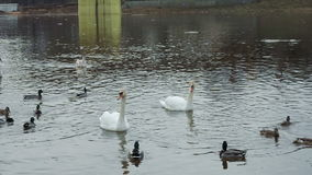 Two white swans floating in a river near the bridge stock video