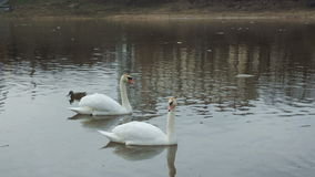 Two white swans floating in a river. Two white swans floating in a river, in spring with wild ducks stock video