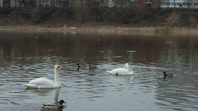 Two white swans floating in a river, in spring with wild ducks,duck attacks swan. stock footage