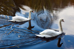Two white swans floating on the water Royalty Free Stock Photography