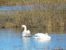 Two white swans Royalty Free Stock Photos