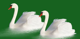 Two white swans. Royalty Free Stock Photography