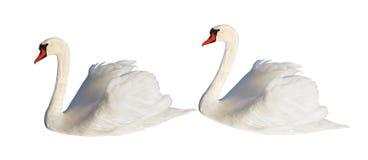 Two white swans. Stock Photos