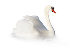 Two white swans. Royalty Free Stock Images