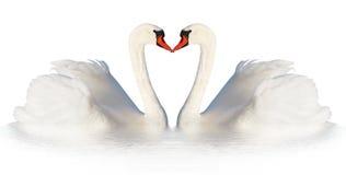 Two white swans. Royalty Free Stock Photos