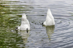 Two white swans gracing in water Royalty Free Stock Photo