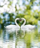 Two white swans on green background close-up. Two white swans on green background Royalty Free Stock Photo