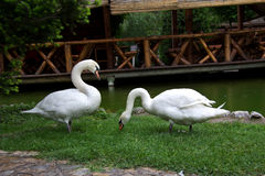 Two white swans Royalty Free Stock Photography