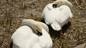 Two white swans hidden beaks under a wing and sleep. On the shore of the pond stock video