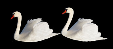 Two white swans. Royalty Free Stock Image