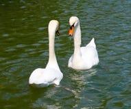 Two white swans on lake Royalty Free Stock Photos