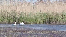 Two white swans. On the lake stock video footage