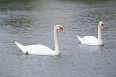 Two white swans on a lake Stock Photography