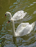 Two white swans Stock Image