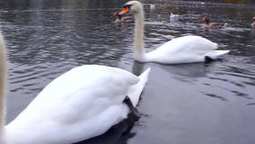 Two white swans in the lake stock footage