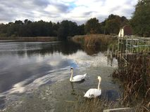 Two white swans on a lake in English countryside Stock Photos