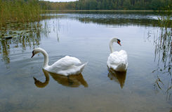 Two white swans on a lake  ,. Two white swans on a lake,  on nature Stock Photography