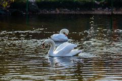 Two white swans on the lake or in the pond Stock Photos