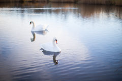 Two white swans on a lake with reflection. Two white swans on a lake with perfect reflection Stock Images