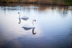 Two white swans on a lake with reflection. White swans on a lake with perfect reflection Stock Image