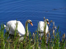 Two white swans in a lake Stock Photos