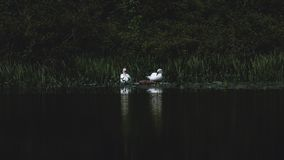 Two swans at the lake stock photos