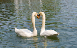 Two white swans in love Stock Images