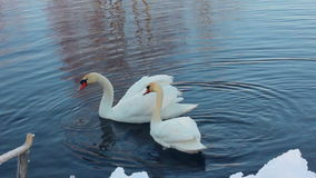Two white swans near snow covered riverbank. Swans couple in winter lake stock footage