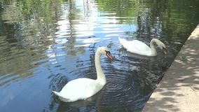 Two white swans. On pond stock video footage