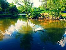 Two white swans on a pond Stock Photo