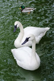 Two white swans. In a pond close up Stock Images