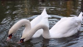 Two white swans in a pond pecking cookie stock footage