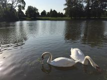 Two white swans in a pond Stock Images
