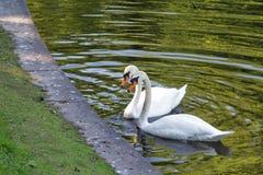 Beautiful white Swan family a couple stock photos