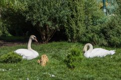Two white swans rest on the grass. In Gorky Park, Kharkov Stock Images