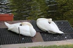 White swans sleeping on a dark rug royalty free stock photos