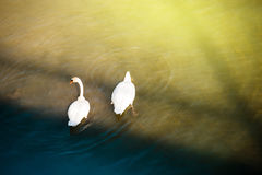 Two white swans in a river seen from above Royalty Free Stock Images
