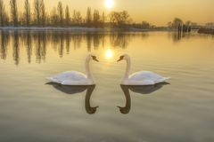 Two white swans on a river at sunset Stock Photos